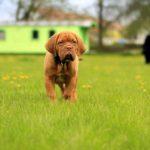 Jak wytresować psa przy użyciu smartfona i urządzenia Garmin Delta Smart?